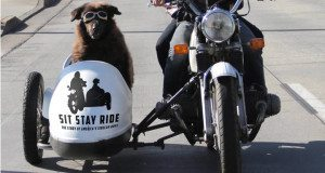 Dogs in Motorcycle Sidecars